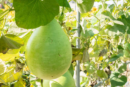 green bottle gourd on the tree in the outdoor