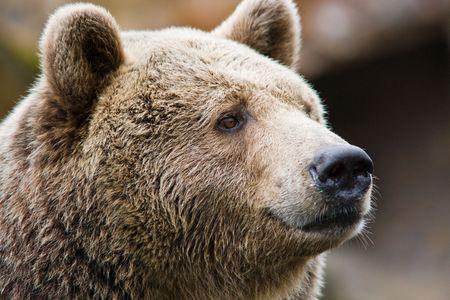 Porträt eines Bären