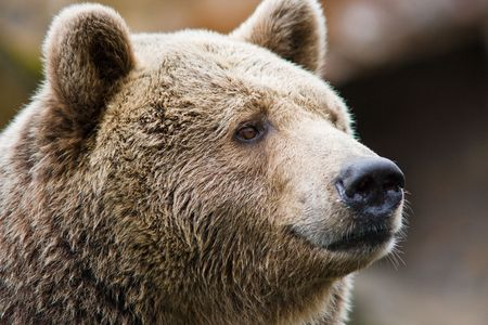brown: Portrait of a bear
