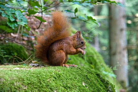 fluffy tuft: Squirrel eating a nut Stock Photo