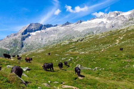 Mountain landscape with cows in the swiss alps photo
