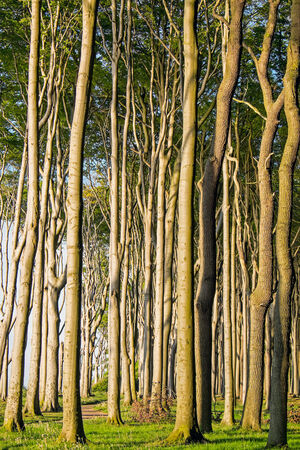 Beech trees in a forest photo