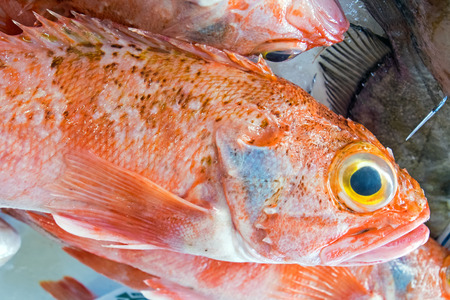Red porgy fish for sale photo