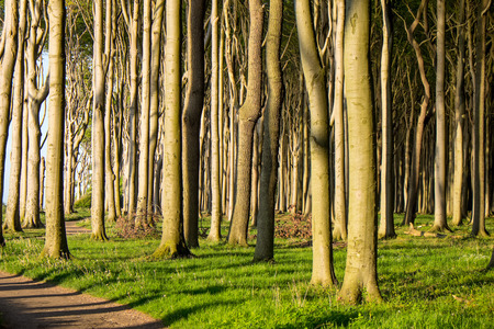 Beech tree forest with sunshine photo