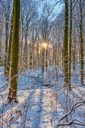 Beautiful beech forest in winter backlit by the setting sun Imagens