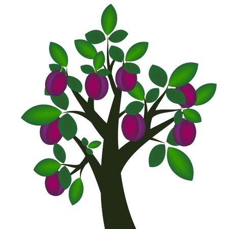 purple leaf plum: Decorative plum tree with ripe fruits
