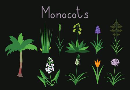 allium: Exaples of monocots plants collection