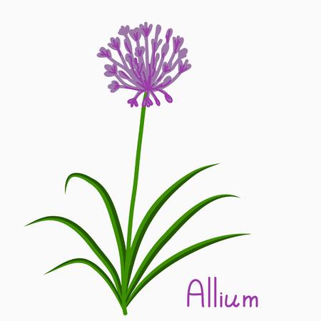 allium: Allium plant simple vector illustration