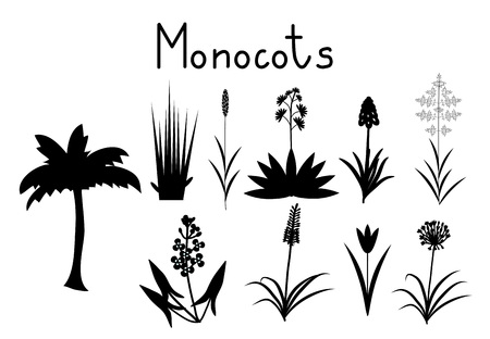 allium: Examples of monocots plants collection