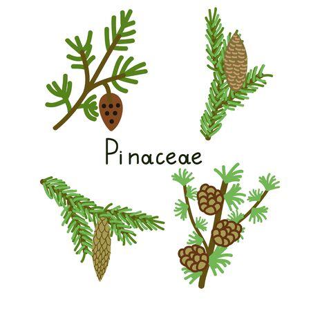 pinaceae: Pinaceae four vector plants set Illustration