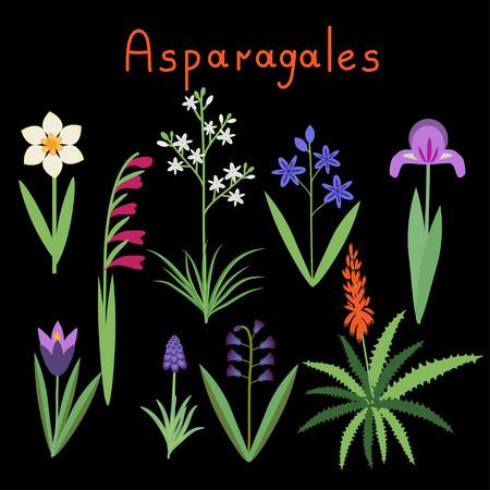 Asparagales plant order vector examples