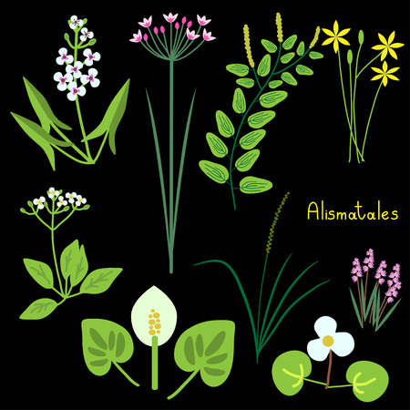 arum: Alismatales plant order examples illustration
