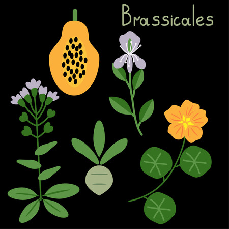 Brassicales plant order vector examples