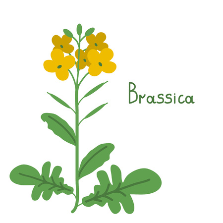 brassica: Brassica napus isolated vector illustration