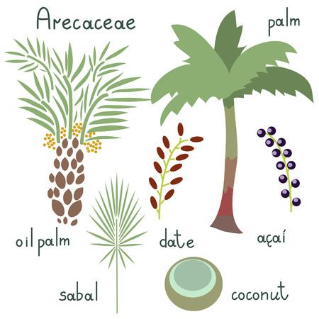 Arecaceae vector flat plants set Illustration
