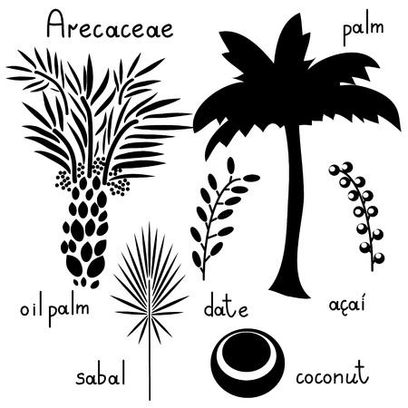 Arecaceae vectro flat plants set Illustration