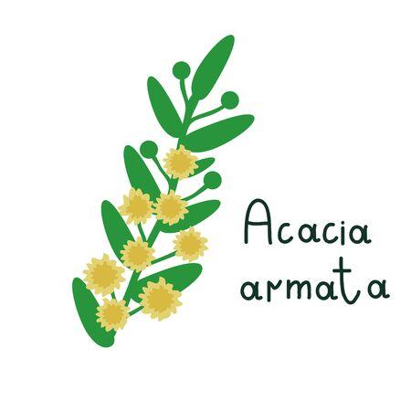 Acacia armata branch vector illustration