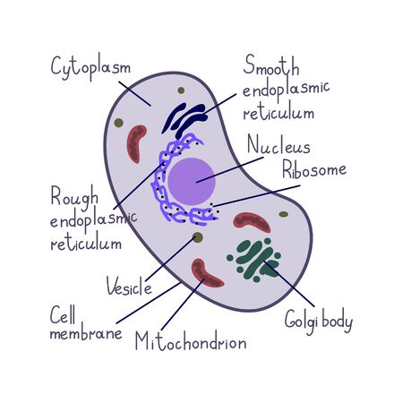 Eukaryote cell vector simple illustration