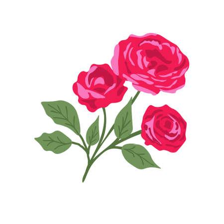 Isolated rose plant on white background