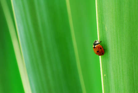 Ladybird walking up green yucca leaves