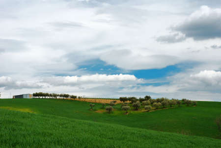 Green wheat field with blue, olive trees and silver sky Stock Photo - 2915115