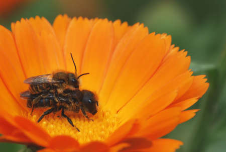 Pair of Halictus sp in love on a calendula flower. photo