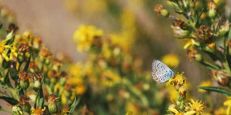 lycaeninae: Pretty little Lycaenidae (Plebejus) butterfly