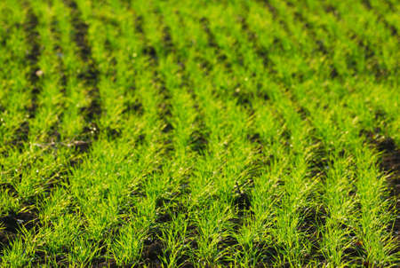 Line of new wheat plants growth photo