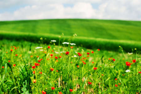 Red summer flowers in a field Stock Photo - 3050708