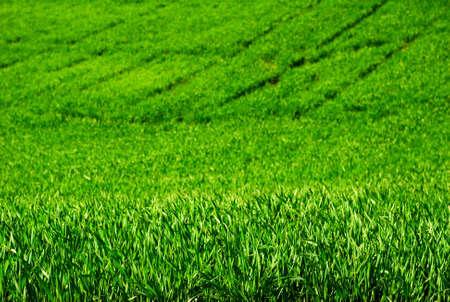 Wheat plants in a field                                     photo
