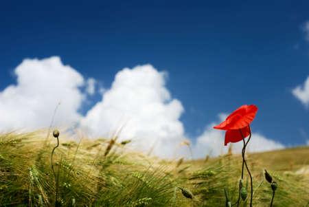 Red poppy in a wheat field under blue sky