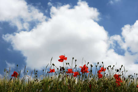 Red poppyies in a line under cloudy sky photo