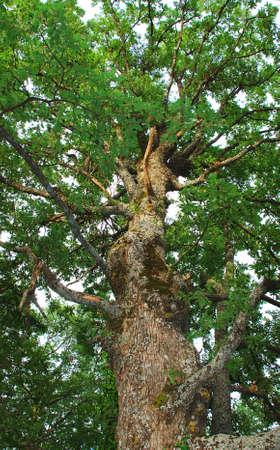 secular: Secular oak tree