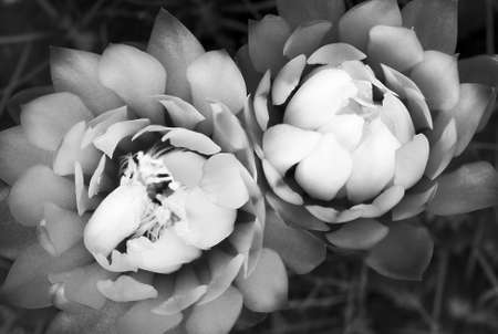 splendid: An other way to see two splendid cactus flowers (Gymnocalycium sp) Stock Photo