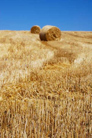 Straw bales among stems under clear blue sky Stock Photo