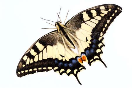 Beautiful yellow Swallowtail butterfly (Papilio machaon)