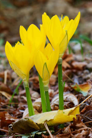 Bunch of yellow autumnal Crocus flowers