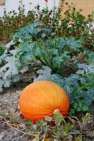 int: Mature pumpkin int he garden Stock Photo