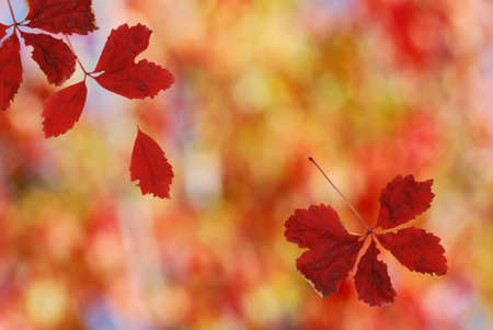 Shallow focus on bright red falling leaves Stock Photo