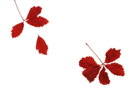 Red autumn leaves over white background