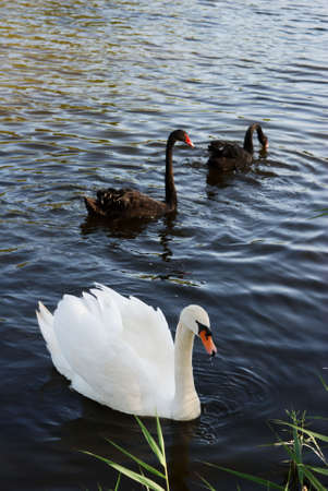 congregate: A white and two black swans on dark water