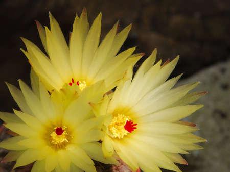 cactus species: Especies de cactus de color amarillo brillante sobre fondo oscuro flores Foto de archivo