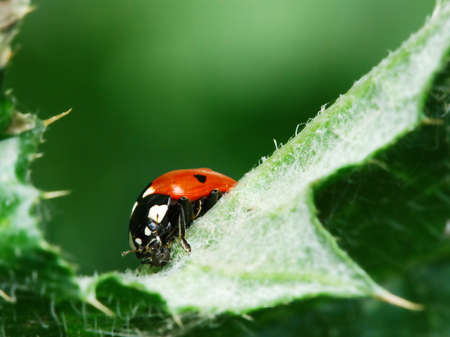 Red ladybugs eating aphid on green leaf photo