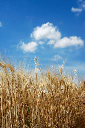 Golden wheat under blue sky Stock Photo - 5118851