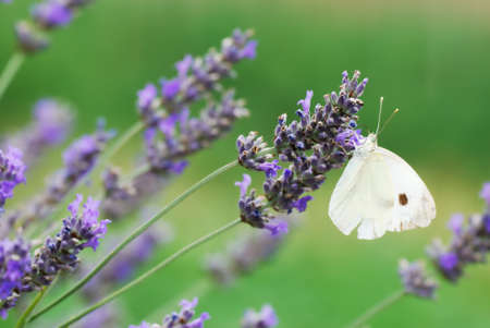 Small white butterfly on lavander flowers Stock Photo