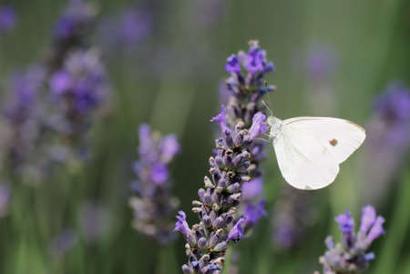 Group of lavender flowers with Pieris rapae butterfly photo
