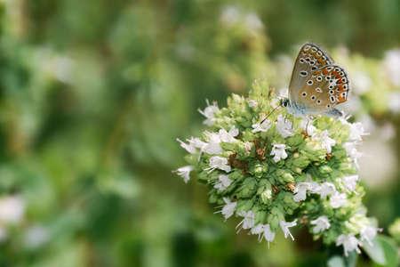 lycaenidae: Oregano flowers with small Lycaenidae butterfly