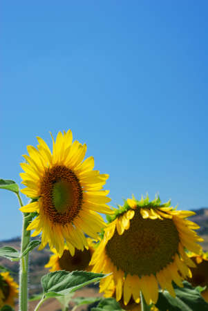 Pair of sunflowers in a field under clear blue sky (selective focus on first flower) photo