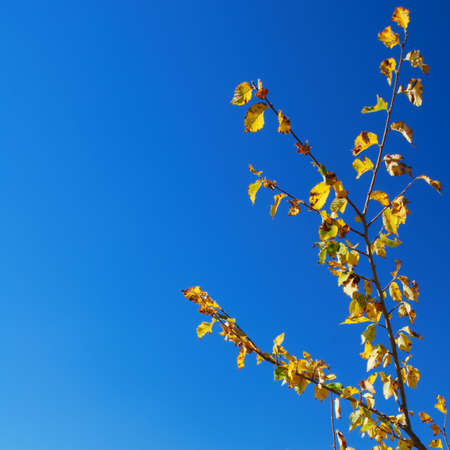 Yellow leaves on tree branch over clear blue sky background Stock Photo - 5326651