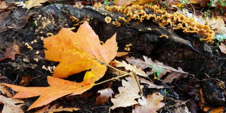 Bright orange autumn leaves in woodland photo